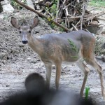 Urban deer can get in pretty bad shape, but trap and transplant is not the alternative.