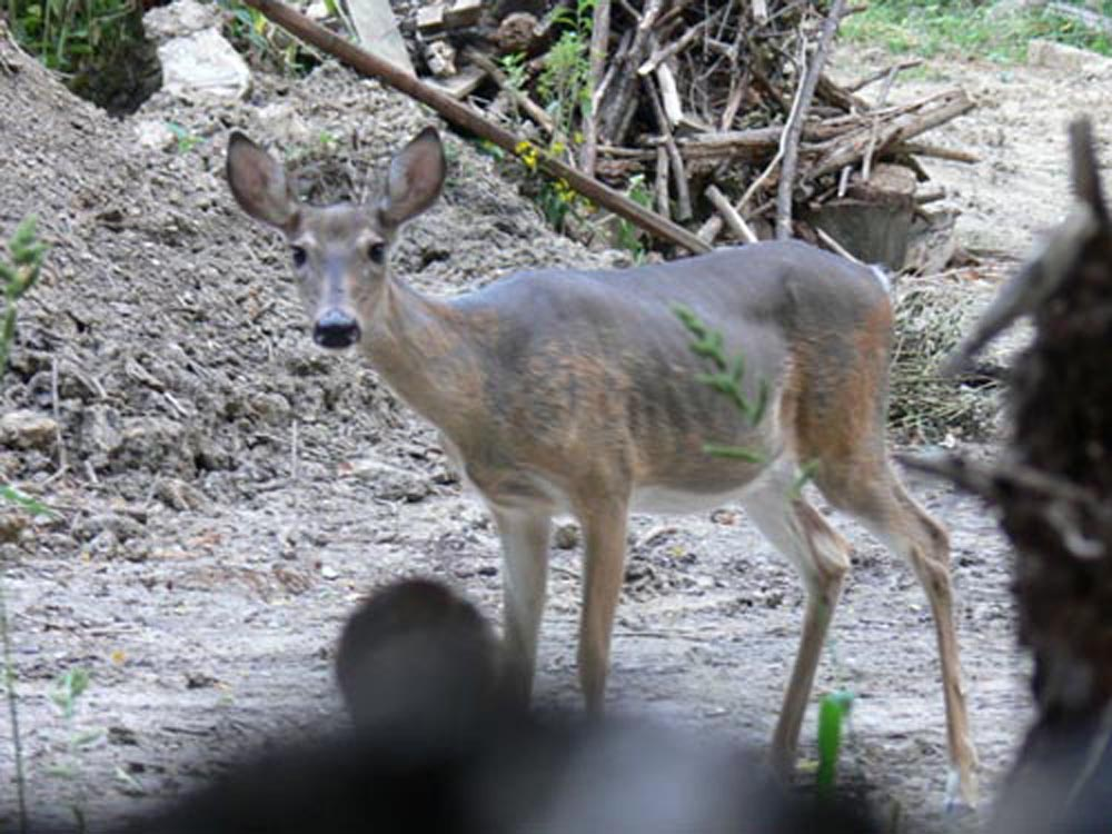 Why You Shouldn't Trap and Transfer Deer