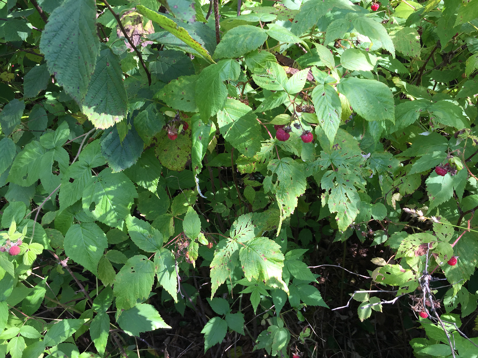 2-Razzberries-bush