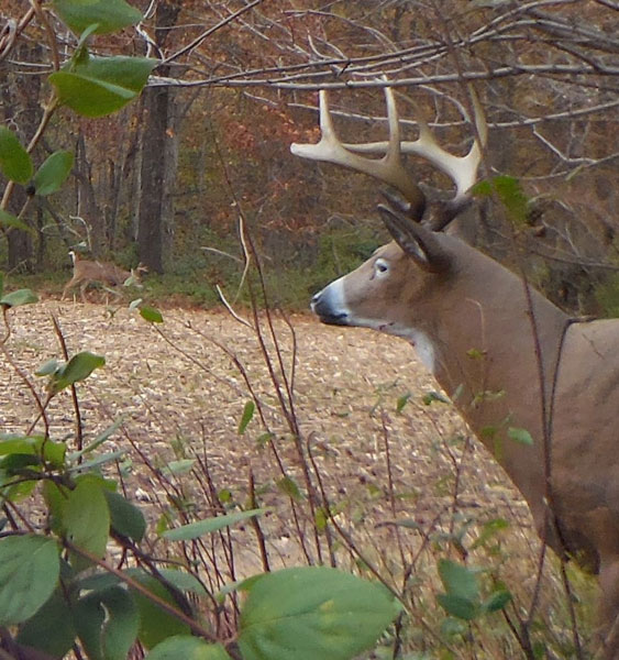 Ground blinds and decoys can spell double trouble for rutting bucks. This Illinois setup attracted in several bucks during the 2014 bow season.