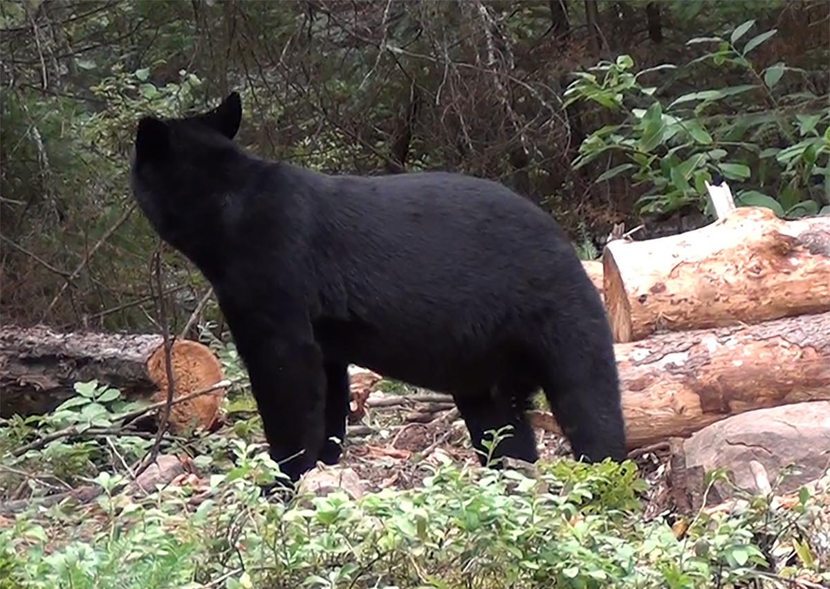 H1-Fred-Bear-3