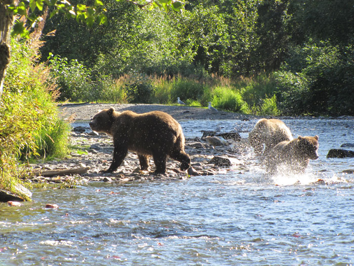 Big brown bears get big by eating salmon for 5 months a year and sleeping for seven months. They live adjacent to productive salmon streams during the summer. When their bellies are full they are often more docile and tolerant than when they are hungry.