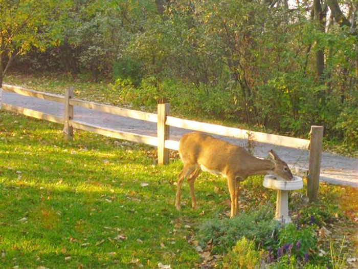 More urban development makes hunting and controlling deer via hunting more difficult.
