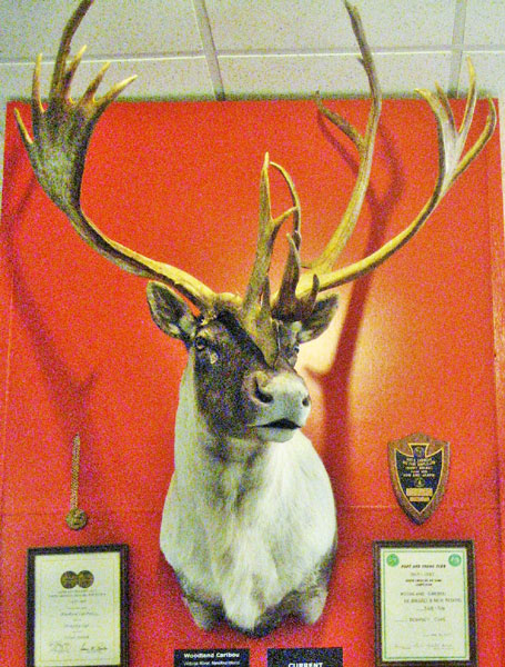 The Sampson caribou mount was displayed at the Pope and Young Club's 2015 April convention in Phoenix. Its official score is 375-0/8 inches. M. R. James photo.