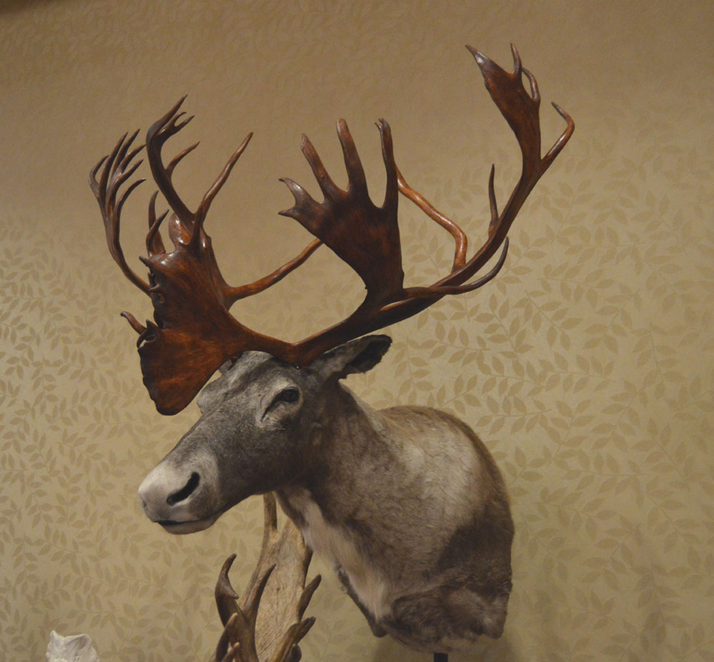 Dempsey Cape's World Record stag held that title for nearly half a century. The mount is on permanent display at the Pope and Young Club/St. Charles Museum in Chatfield, Minnesota. M. R. James photo.