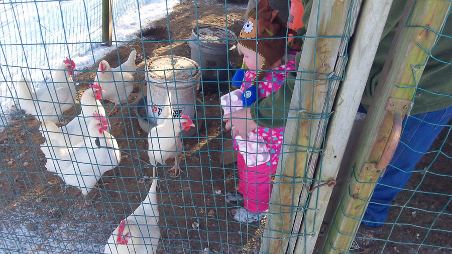 This is a real adventure when the chickens come up to your waist.