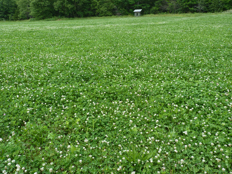 Here clover proves an enticing draw for wildlife.