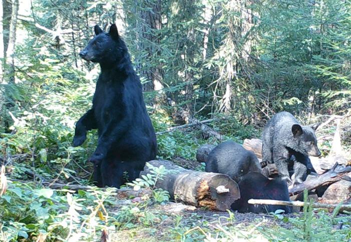 Last Bearhunt: The Chef