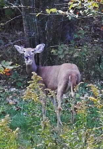 """What deer hunter hasn't had a sharp-eyed doe sound the alarm upon detecting nearby danger? Such moments make you want to yell, """"Yeah, I'm busted! So shut up, already!"""""""