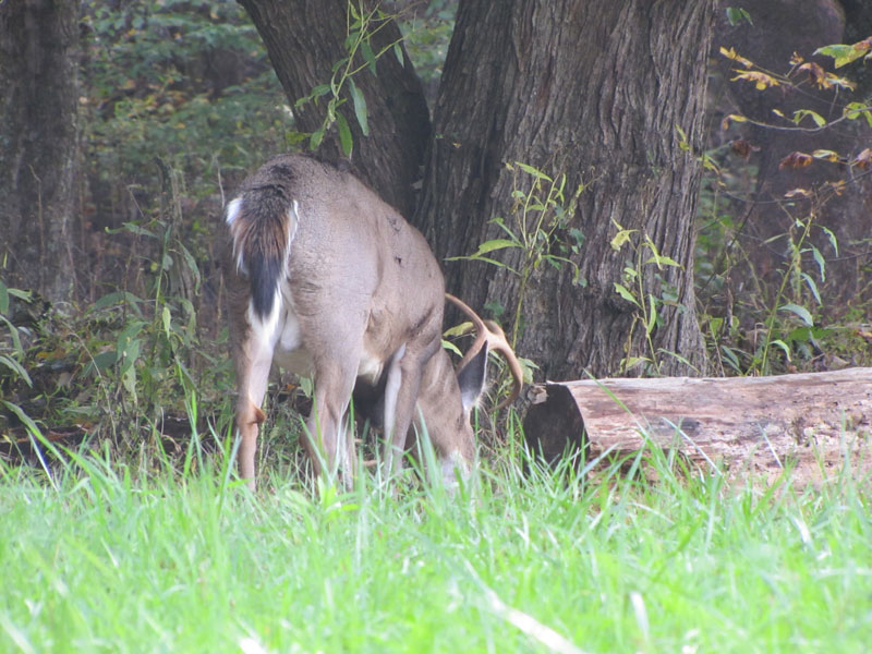 Whitetail deer spend a lot of time with their heads down in the fall targeting acorns.