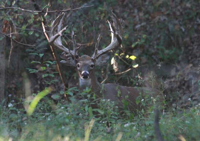 Here is one of the bucks we were able to rattle in.