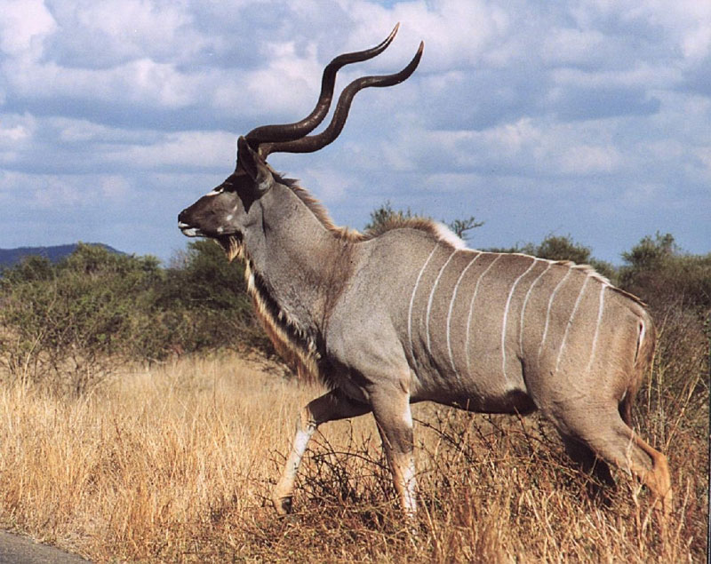 Kudu, one of Africa's most majestic game animals.