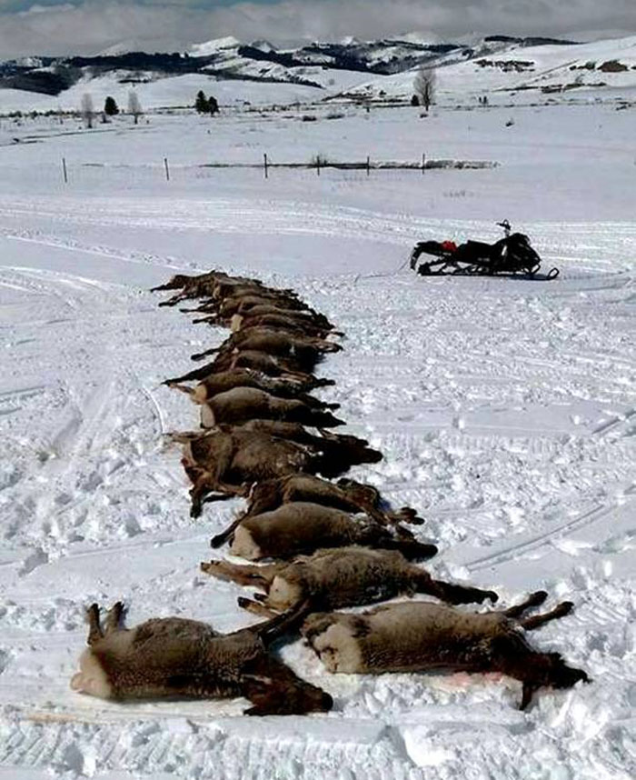 """We had 18 elk slaughtered by wolves on our elk winter feeding grounds in one night this week. 16 were calves that were not eaten at all. Killed and left for dead. The others were two pregnant cow elk. The wolves ripped the fetuses from the elk most likely from signs while they were still alive, to later die. Again they did not eat the cows. This makes nearly 70 elk slaughtered by wolves on our elk winter feeding grounds alone this winter. That doesn't include any elk or other wildlife in the area surrounding these feeding grounds."""