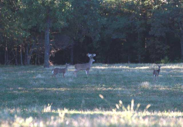 Here is a nice buck with does that we came across on our morning scout.