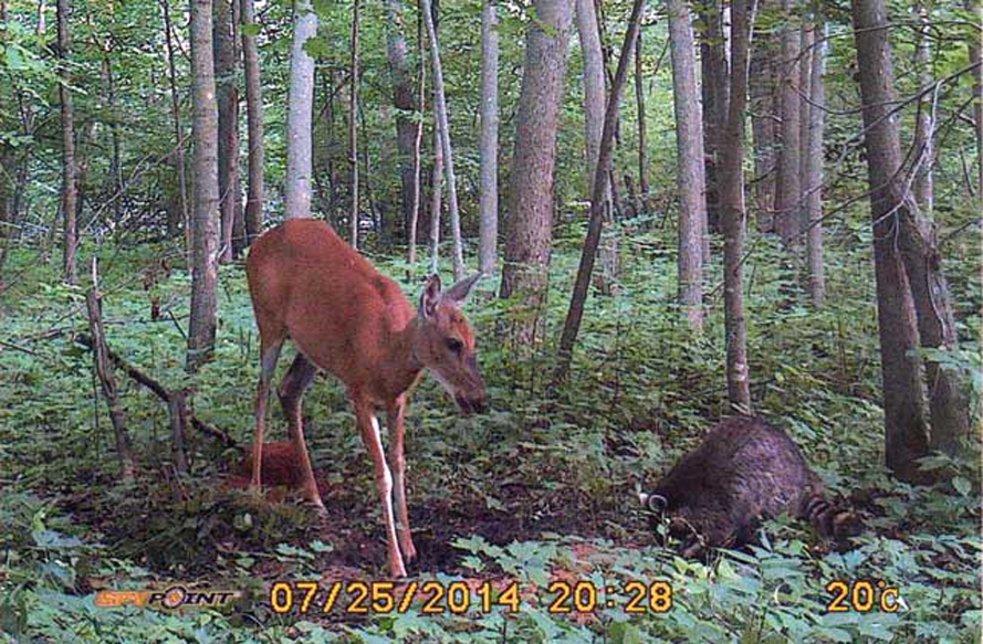 Here a doe and racoon come in to In Sights.