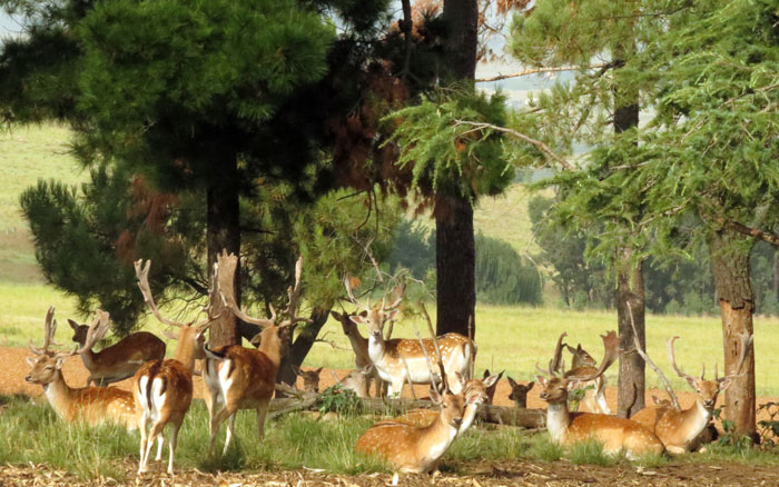 A group of Fallow Deer with a few mature stags.