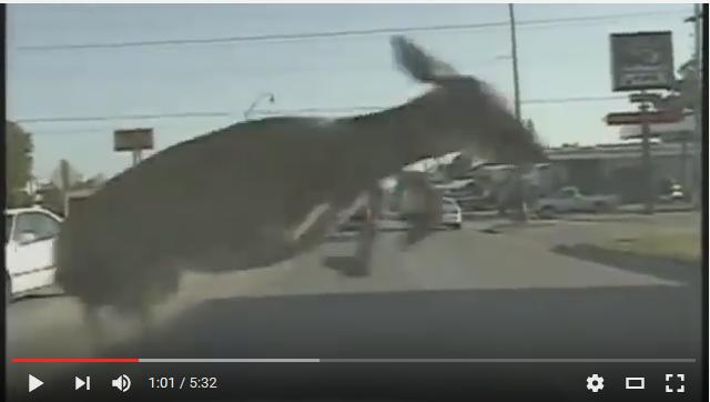 Deer vs Cars: Dash Cam Tell the Story