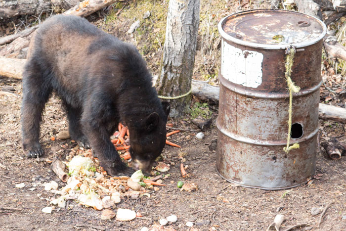 Don't shoot a rubbed if you can avoid it. A bear that looks multi-colored is usually rubbed.