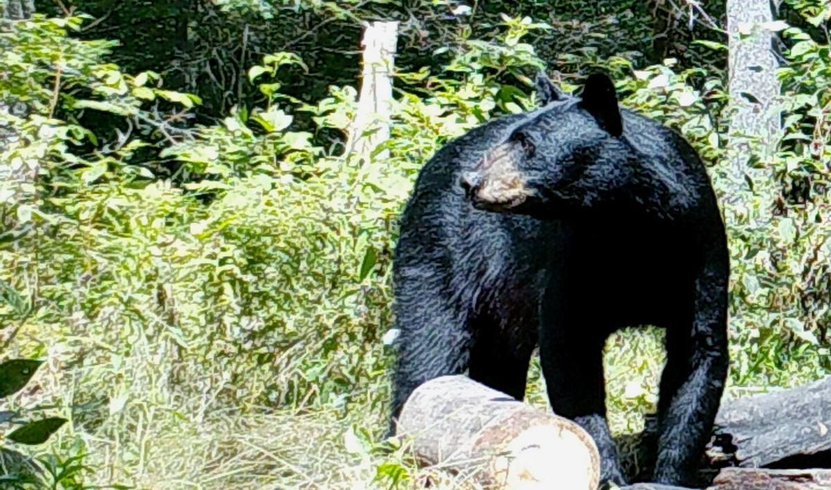 RH-Bear-3b