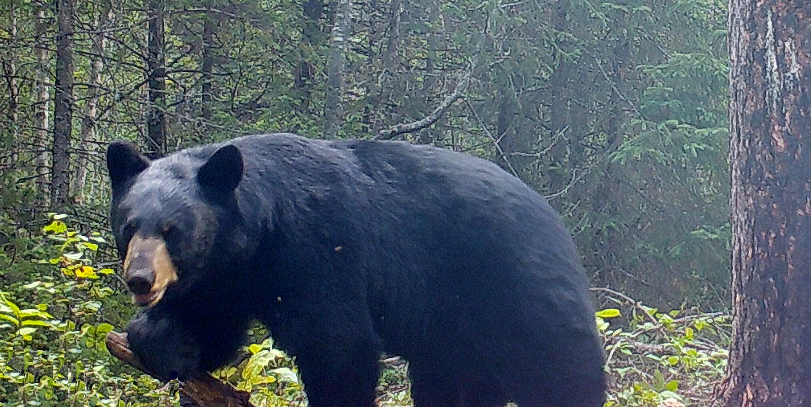 RH-big-bear-woods-1600