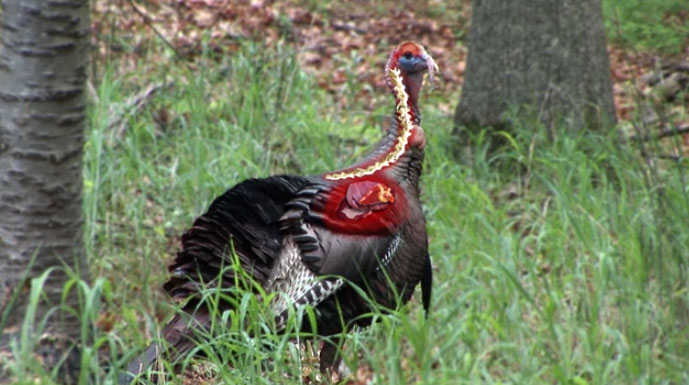 Bowhunters  Shot Placement On Wild Turkey