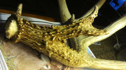 The Shed Antler Story