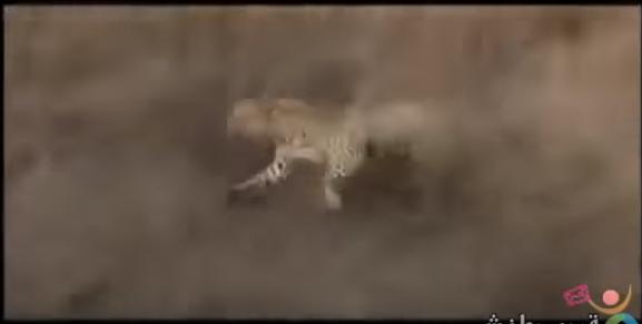 Leopard Gets Revenge: Sorta