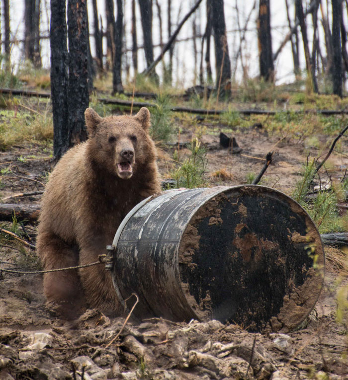 A beautiful Alberta color phase bear, however, it's not very large. The barrel is knocked over making it more difficult to judge his size. This bear got a pass on this spring hunt.
