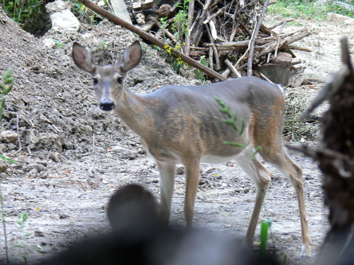 Often urban deer are in very poor condition due to the lack of quality food.