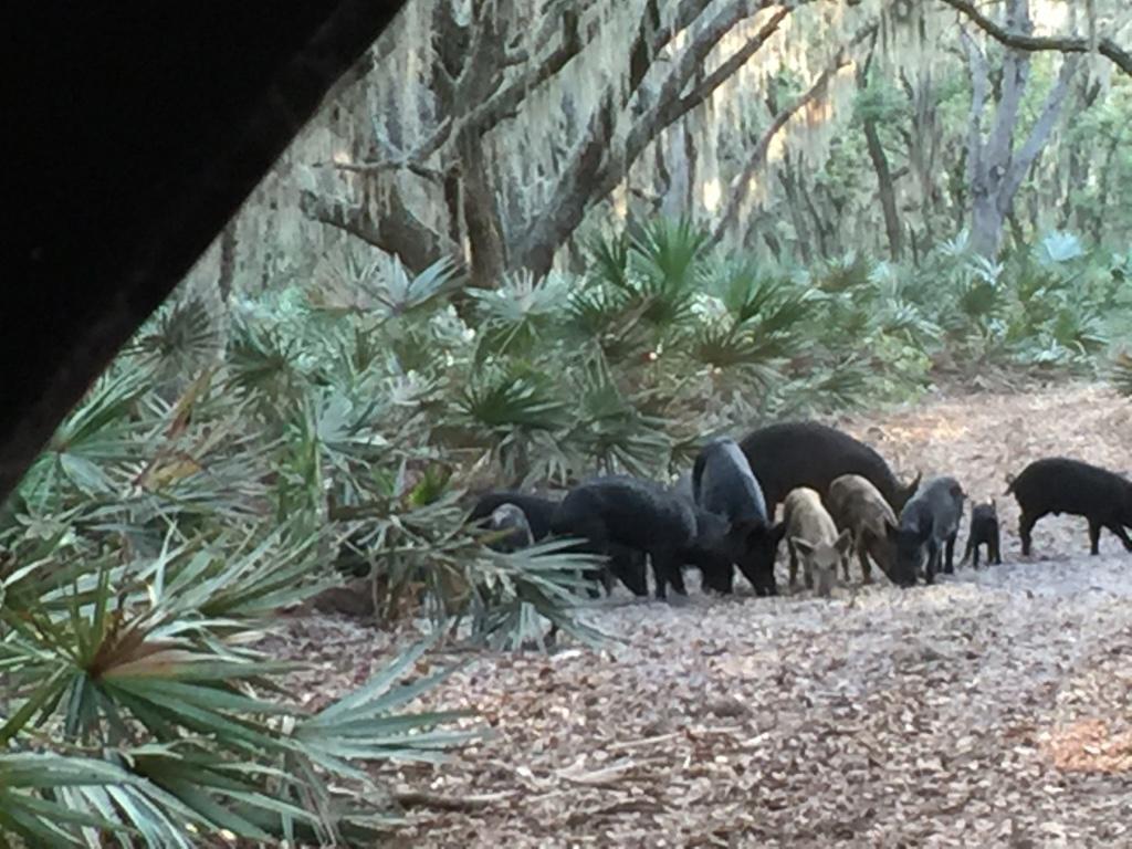 Florida Wild Hogs