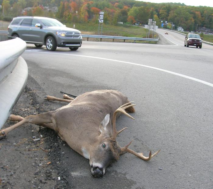 Road killed deer maybe as close as many urbanites get to wildlife.