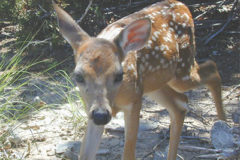 Life Sized Fawn Pic