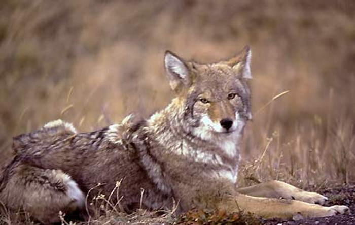 The coyote is a master of adaptability and can survive and flourish in most any type of terrain in the United States.