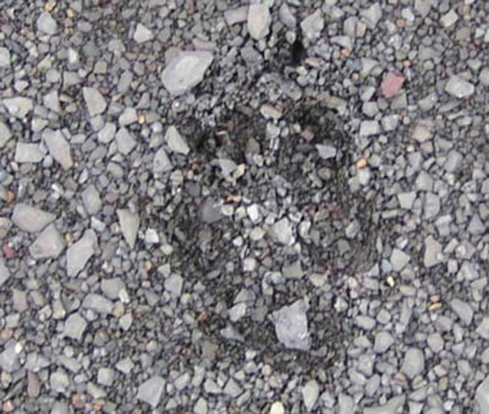 The tracks of a coyote on this shale road indicate that the coyote was a recent visitor to this area as the tracks are fresh.
