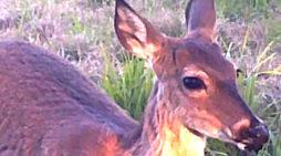 Bucks Antlers: When Do They Start Growing … EXACTLY?