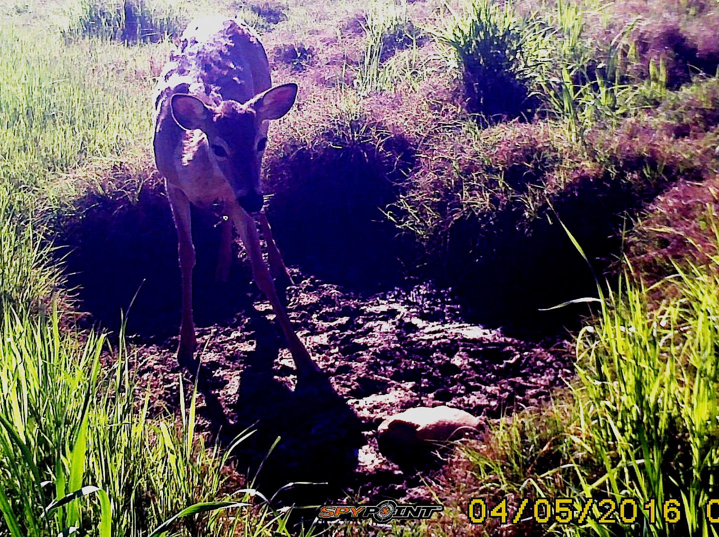 04-Buck-Antlers