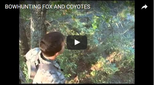 Bowhunting Fox and Coyote