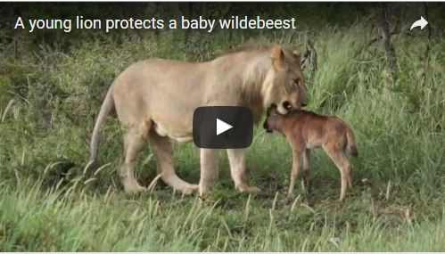 Lioness Protects Baby Wildebeest
