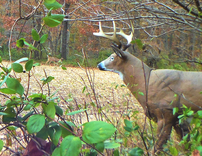 DURING THE RUT a decoy can pull bucks within good bow range. Such encounters can create close-range opportunities for hunters capable of self-control.
