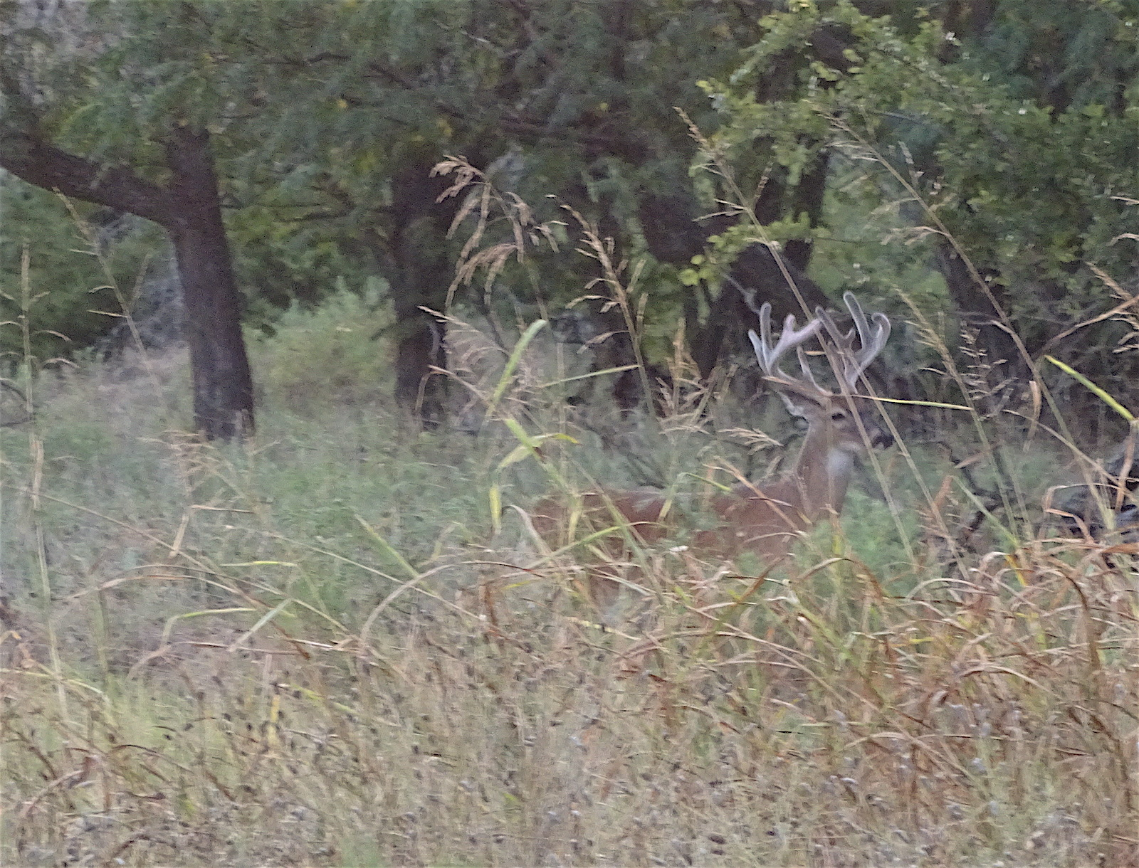 whitetail buck picture by Robert Hoague