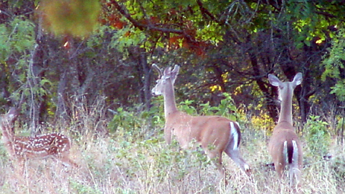 Everything in the life of a yearling buck changes once he is no longer a fawn.