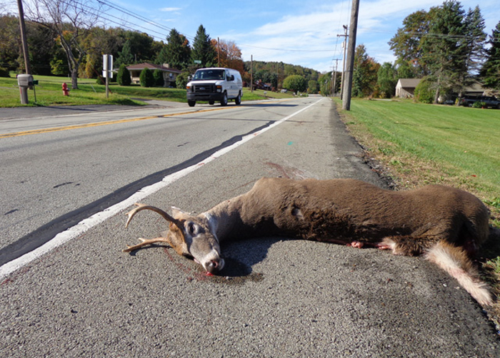 Many of the traveling yearling bucks are killed on our roads every year. Their dispersal brings bucks in contact with cars and trucks.