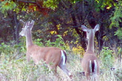 Yearling Bucks: Leaving Home