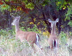 Yearling Bucks: Leaving Home