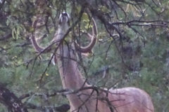 When Do Bucks Begin Rubbing Tree Branches?