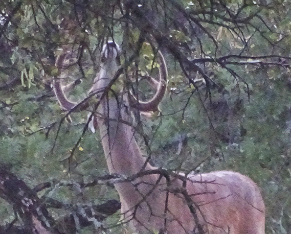 When Do Bucks Begin Rubbing Tree Branches?