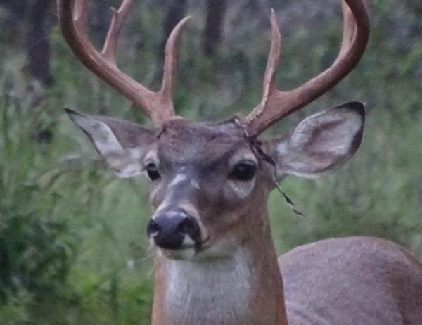 When Do Bucks Shed Their Velvet