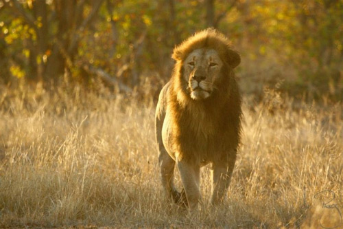 Zimbabwe Park to Cull 200 Lions, Cites Lack of Hunters