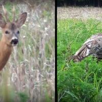 wild jaeger roe deer bowhunt