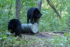 Arkansas Bears Slamming the Bait & Starting to Bait in Oklahoma